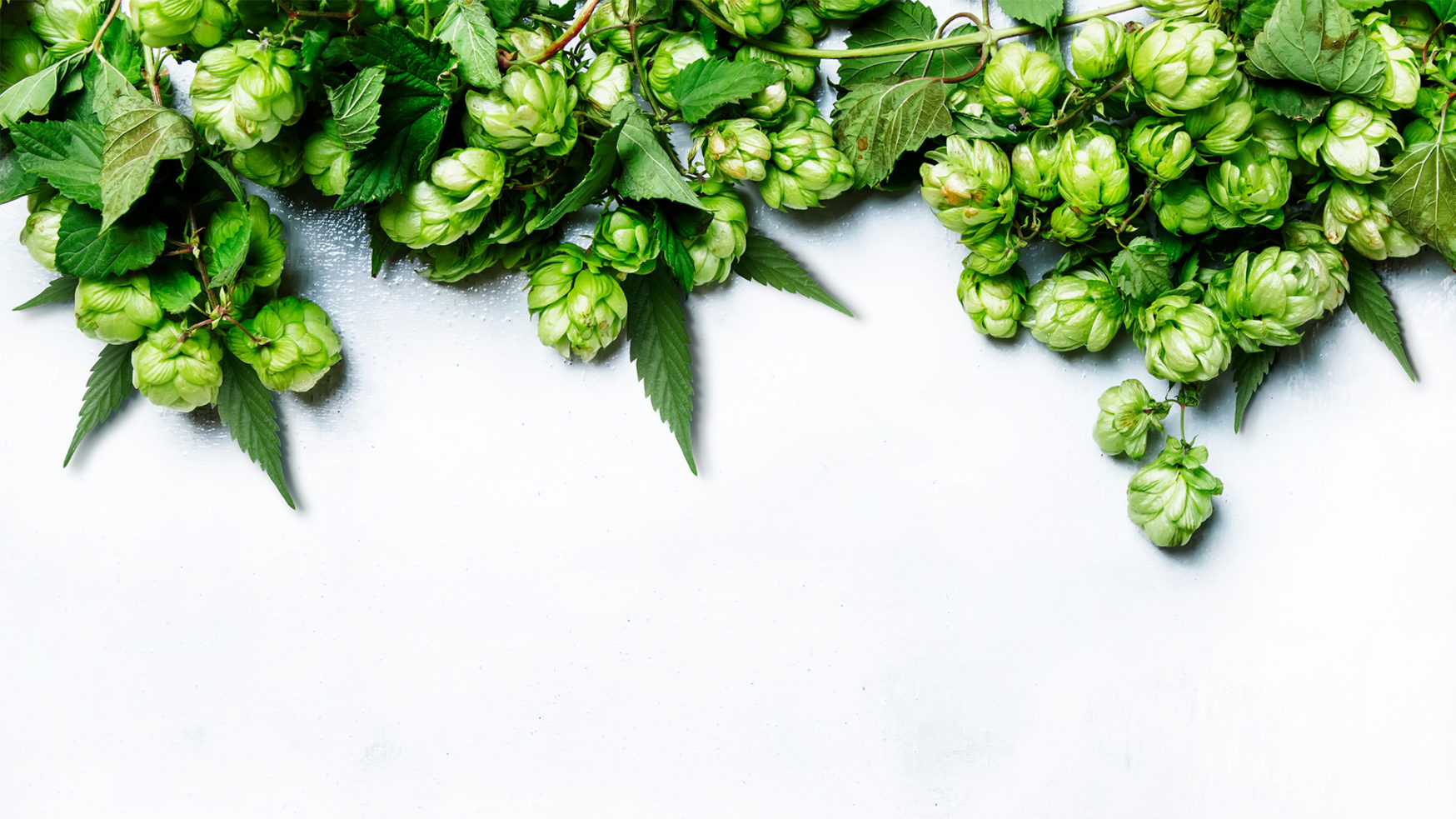 Hop-infused cannabis beer