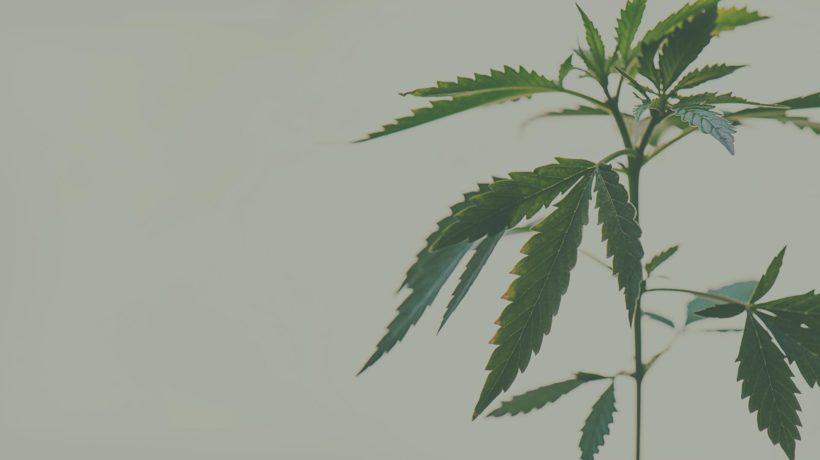 Flowertown Cannabis as plant medicine
